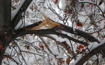 Дерево сломалось от снега