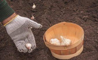 Когда сажать чеснок под зиму