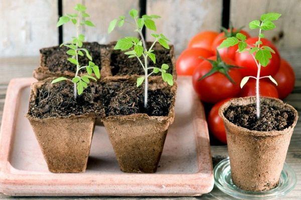 Когда сажать помидоры на рассаду в Подмосковье