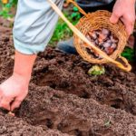 Когда сажать зимний чеснок в Сибири по лунному календарю