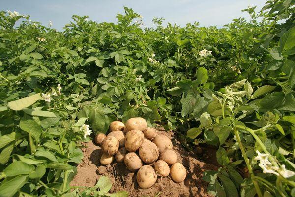 сорта картофеля для выращивания в Сибири