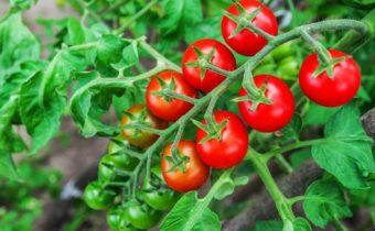 Самые неприхотливые сорта помидоров черри