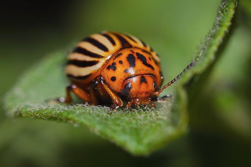 От колорадского жука поможет избавиться простая горчица