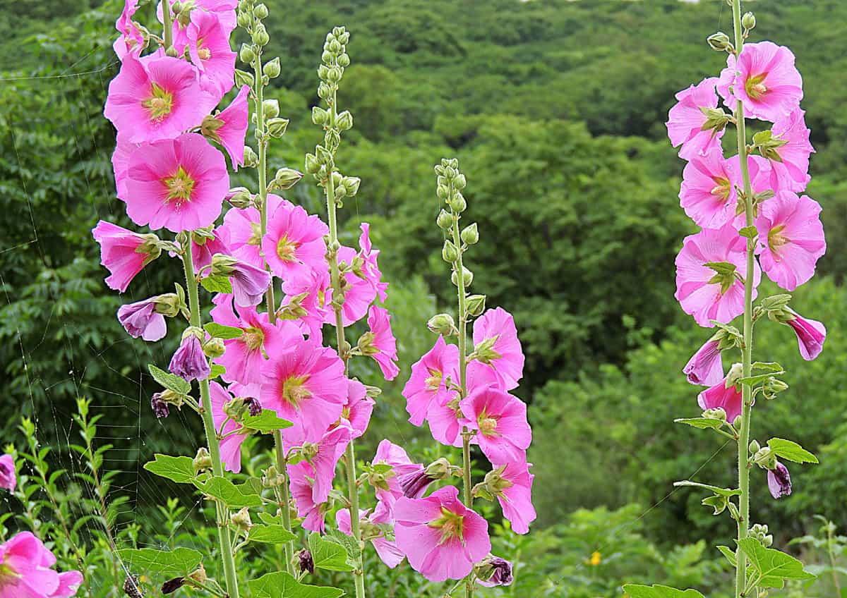 Мальва: выращивание из семян, особенности посадки однолетних и многолетних сортов, уход за рассадой и сроки пересадки