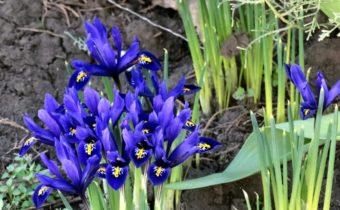 Как правильно рассадить ирисы ранней весной