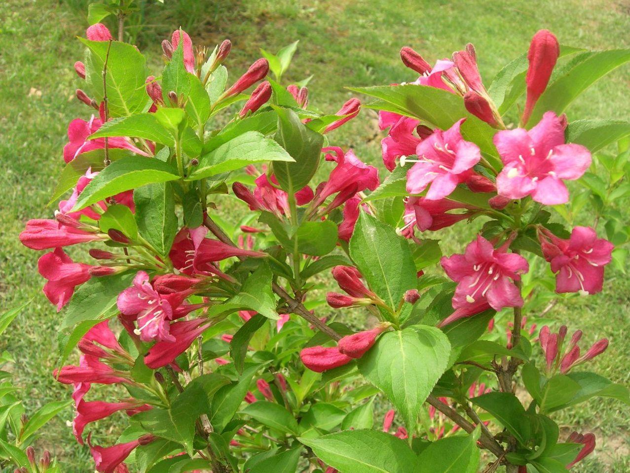 Почему вейгела не цветет: основные причины и как исправить ситуацию
