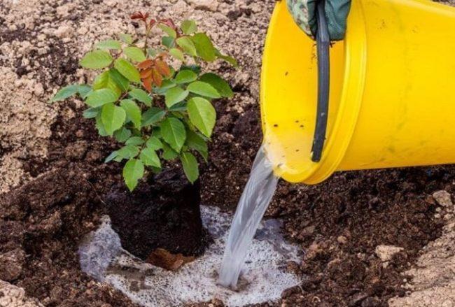 полив розы удобрениями под корень