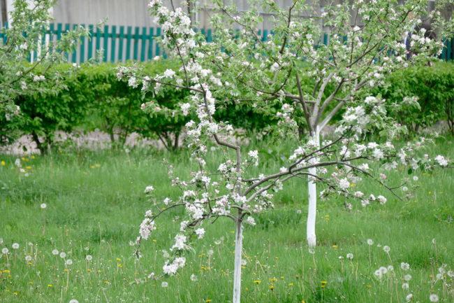 молодое дерево во время цветения