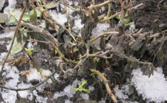 Хризантемы не проснулись после зимы: основные причины и что делать