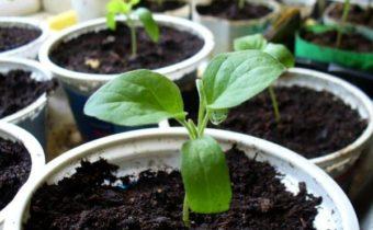 Маргаритки: выращивание из семян