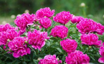 Пышные пионы: советы для обильного цветения растений