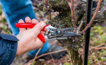 формирование виноградной лозы весной