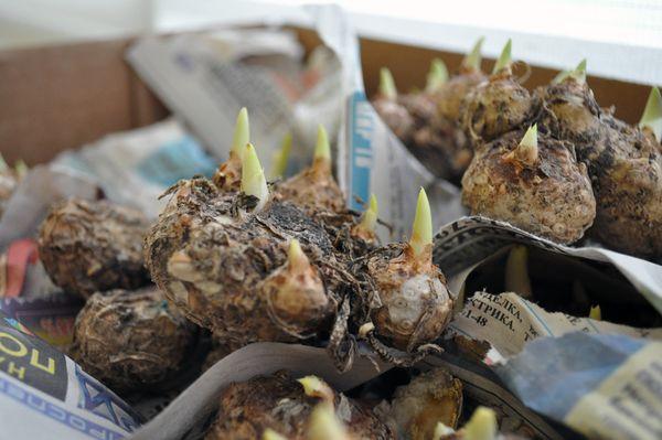 Каллы: когда выкапывать луковицы