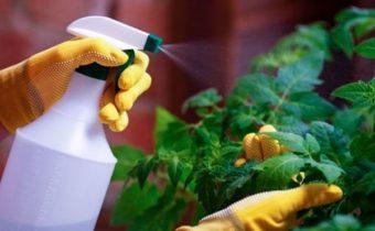 Важная обработка рассады томатов перед высадкой в грунт
