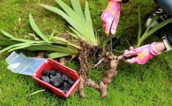 Особенности деления клубней ирисов после цветения