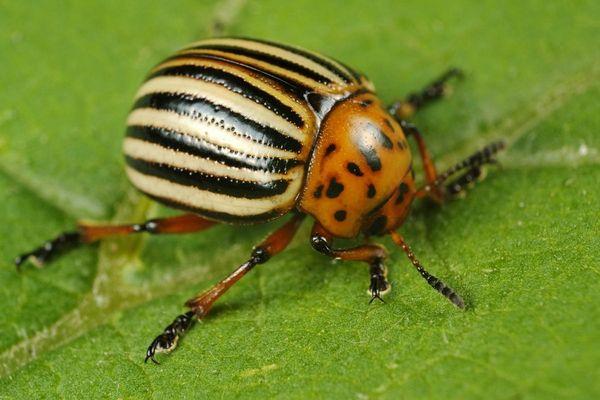 Как надежно защитить баклажаны от колорадского жука