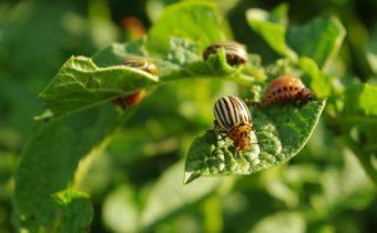 Однокомпонентные народные рецепты от колорадского жука