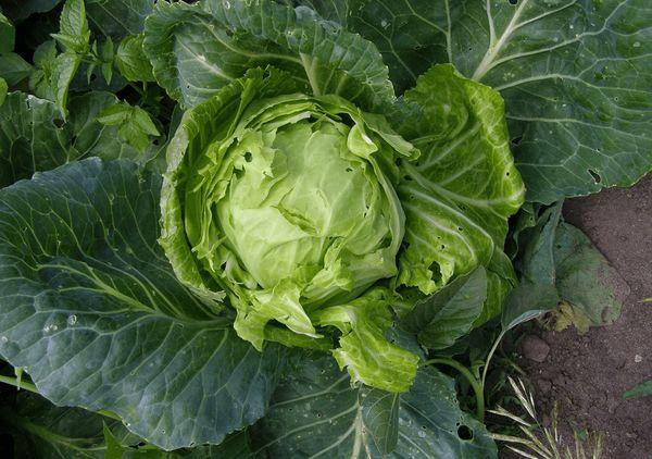 Почему растрескивается капуста и как сохранить вилки