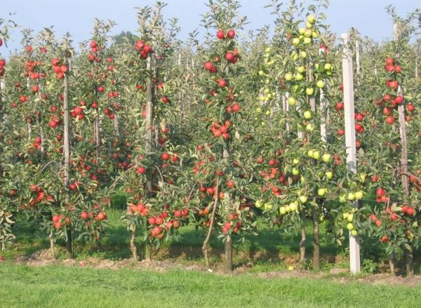 Подвязка колоновидной яблони с плодами