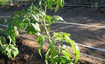 Как подвязать томаты без использования колышков