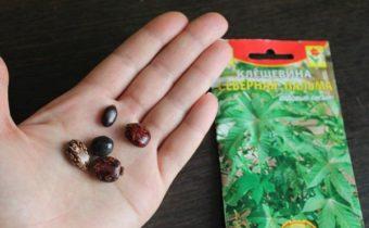 Как выглядят семена клещевины, особенности выращивания