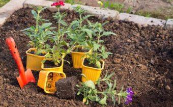Вербена: выращивание из семян