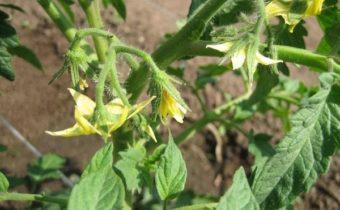 Почему нельзя применять азот для подкормки томатов во время цветения