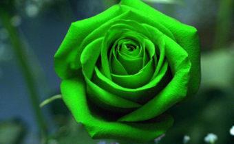 Зеленые розы: фото и наименования