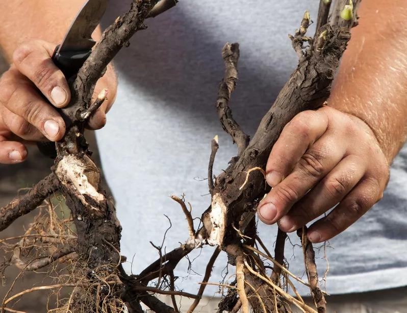Как правильно разделить куст пиона и почему это нужно делать летом