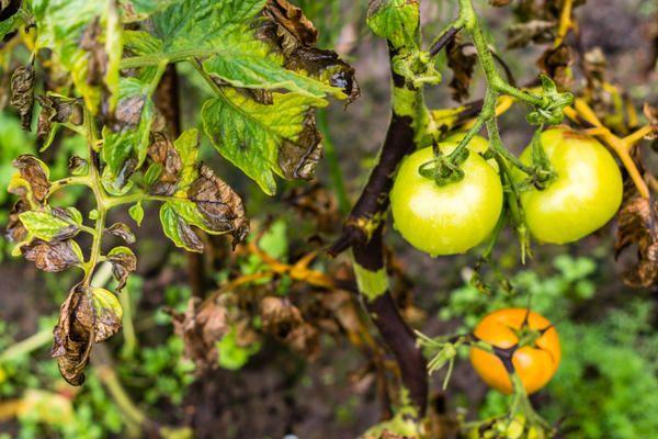 Каких болезней растений стоит опасаться в разгар жаркого лета