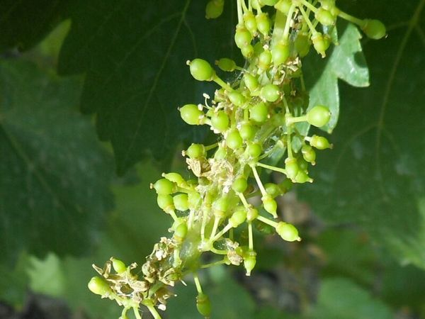 Как определить листовертку на винограде