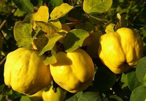 Почему желтеют листочки айвы и что делать