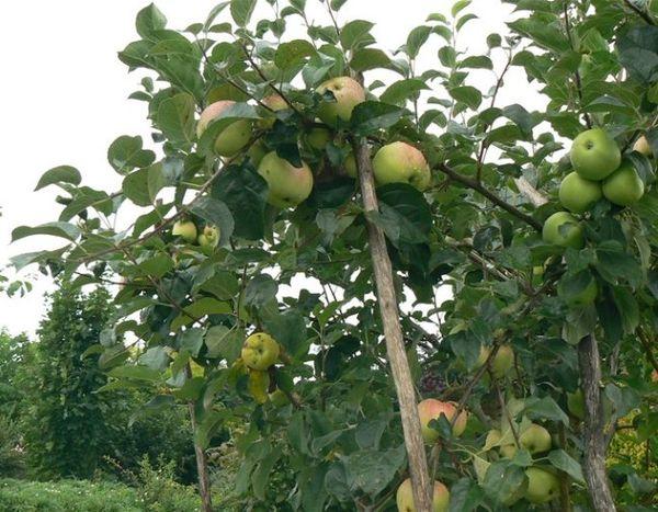 Подвязываем ветки и делаем подпорки для яблонь с плодами