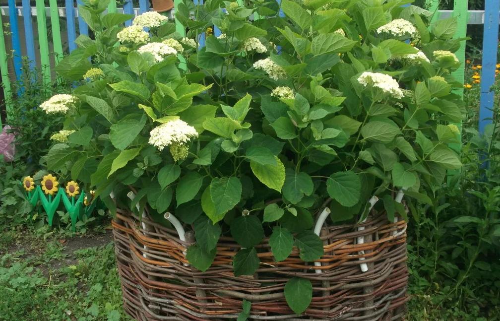 Простые, но эффективные варианты подпорок для гортензии во время цветения