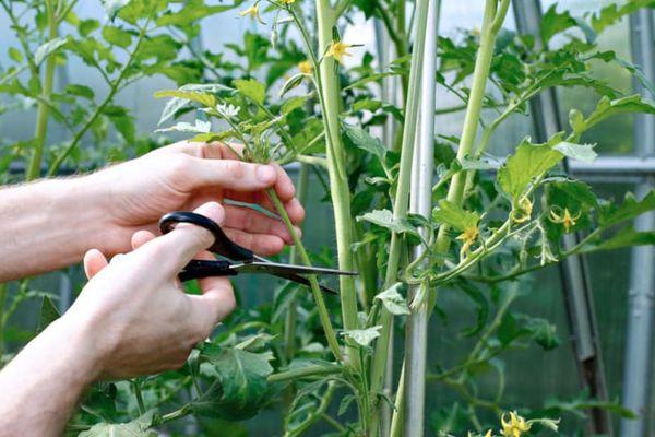 Схема формирования помидоров в 5 и 7 кистей для теплиц