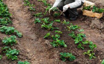 Схемы посадки клубники: как правильно разместить кусты на грядке
