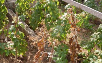 Почему в середине лета у малины сохнут листья