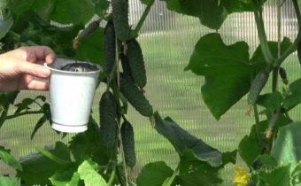 Молочная подкормка для огурцов: как и зачем используется продукт