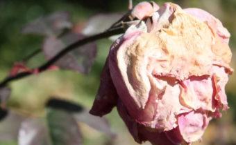 Розы отцвели. Куда деть лепестки от цветов