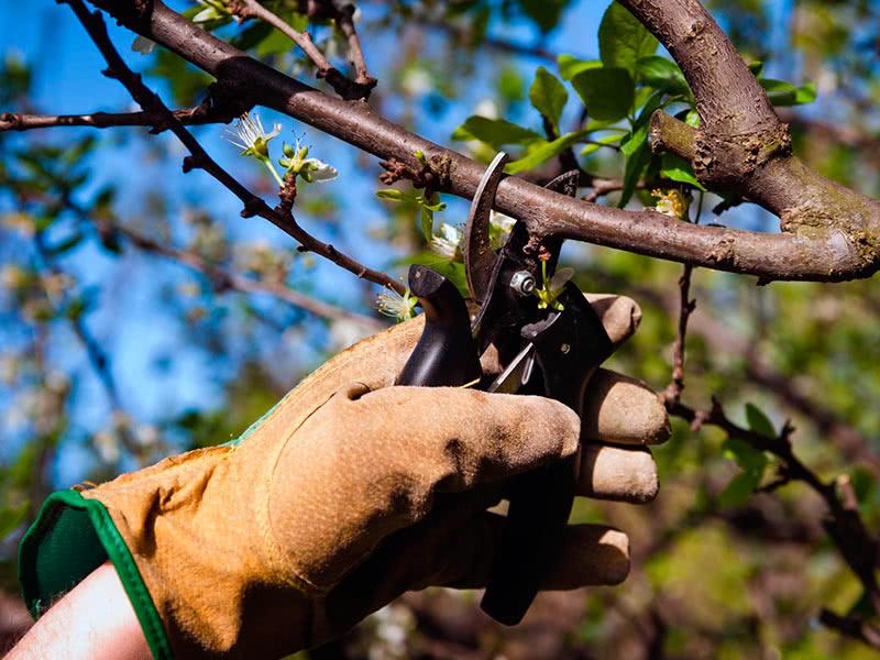 Почему после сбора вишни дерево следует обрезать