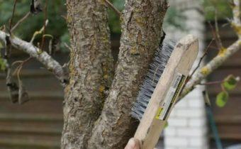 Секреты очистки стволов от старой коры и профилактическая обработка