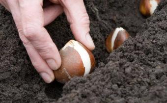 7 ошибок при посадке тюльпанов осенью