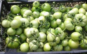 Как правильно собрать зеленые помидоры для доспевания