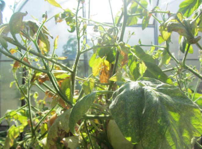 Почему у помидоров опадает цвет в теплице и что делать