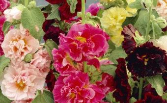 Когда посадить шток-розу, чтобы она зацвела следующим летом
