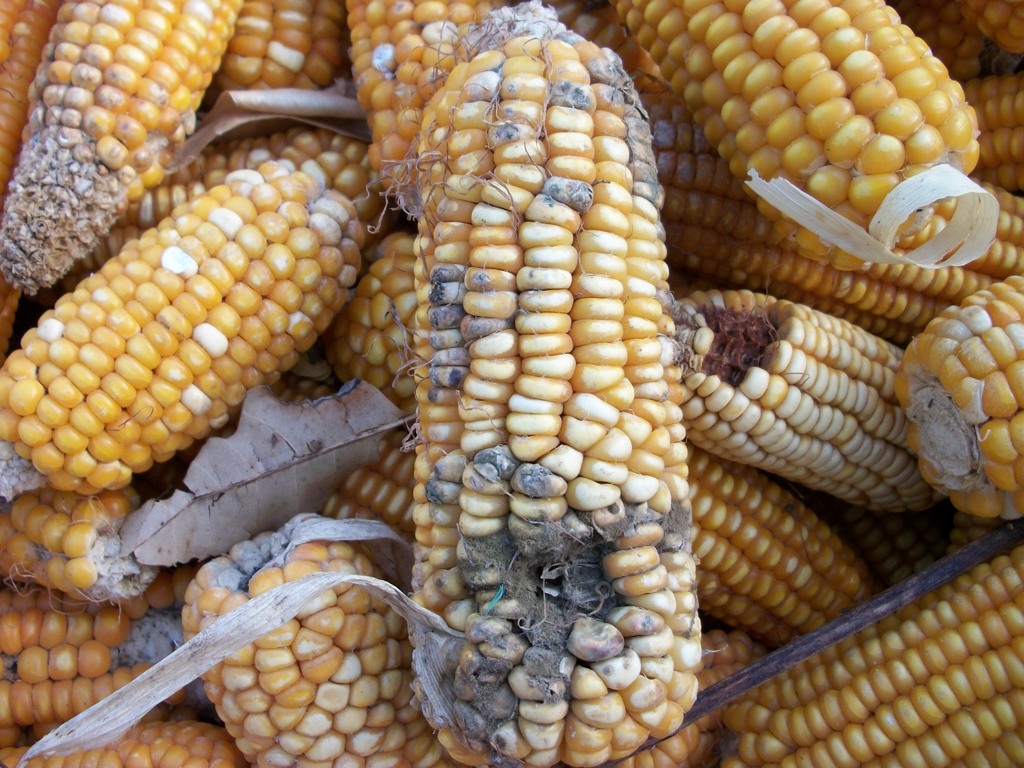 bolezn kukuruzy