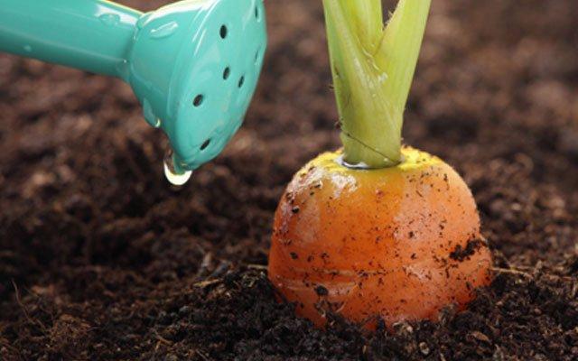 полив моркови
