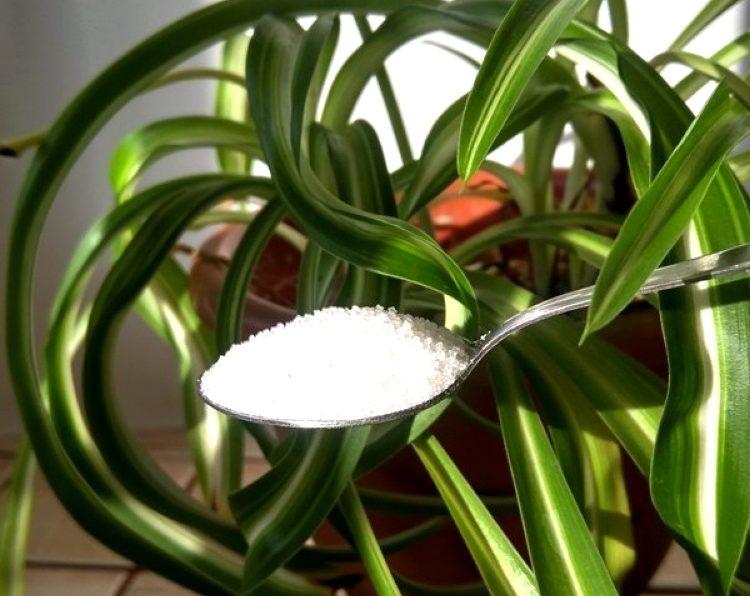 Сахар для домашних цветов
