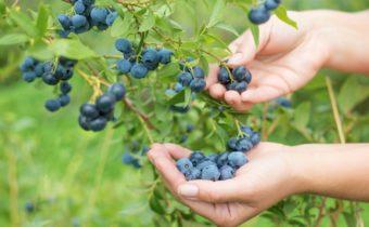 Осенний уход за садовой голубикой или как сохранить кусты