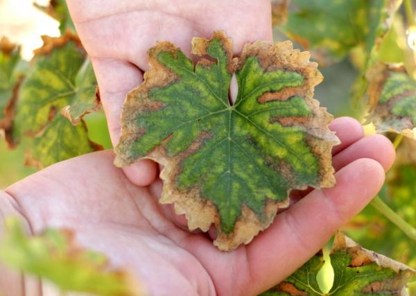vinogradnyj list
